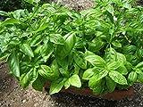 GEOPONICS Graines feuilles de basilic Yungas - Sailor frais Organicly Grown russe