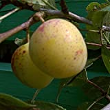 Mirabellenbaum, Bellamira, Prunus domestica, Obstbaum winterhart, Mirabelle gelb, im Topf, 120 - 150