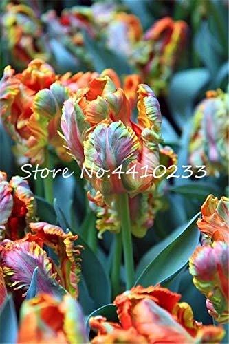 GETSO Bonsai 100 Stück Bonsai Tulip (Nicht Tulip Zwiebeln) 24 Regenbogen-Tulpe Hochwertige Blumentopfpflanze Schönsten * Bunte: 1