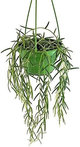 Fangblatt - Hoya linearis - hängende Porzellanblume - pflegeleichte Zimmerpflanze für Ihr Zuhause