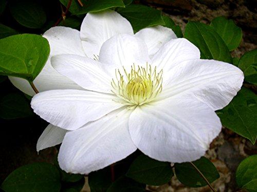 Clematis 'Madame le Coultre' - Schöne Kletterpflanze