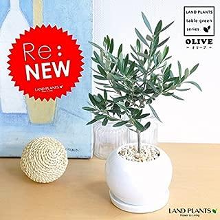 LAND PLANTS オリーブ 白色丸型陶器に植えた 卓上サイズ 室内用