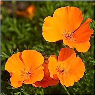 Seed Needs, Orange California Poppy (Eschscholzia californica) Bulk Pack of 10,000 Seeds