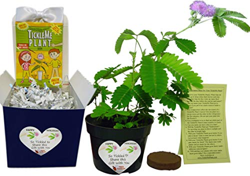 Hanukkah Plant Gift Activity - to Grow The TickleMe Plant That Close Its Leaves When You Tickle It!