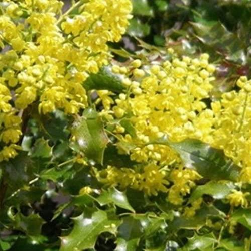 Tall Oregon Grape S.eeds (Mahonia Aquifolium) Pácket of 10+ S.eeds