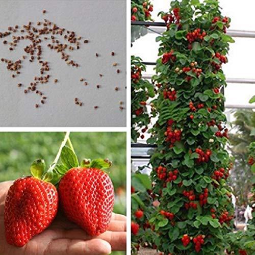 Anitra Perkins - Kletter-Erdbeere samen 'Hummi' lecker immertragend, voll durchwurzelt Fruchtsamen, Erdbeeren im Garten, auf Balkon & Terrasse wintehart (20)