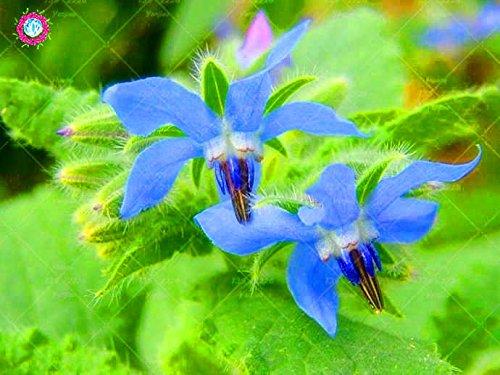 20PCS Rare Bleu bourrache semences Bonsai Fleurs Graines Légumes et cuisine Assaisonnement plantes comestibles Graines de vanille plantes vivaces 1