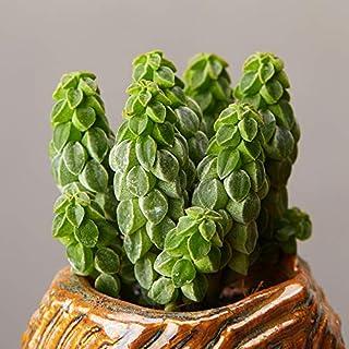 Succulent Live Plant - Peperomia Columella