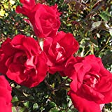 RUBY ANNIVERSARY - 4lt Potted Front Border / Patio Garden Rose Bush - Bright Red - 40th Anniversary Gift
