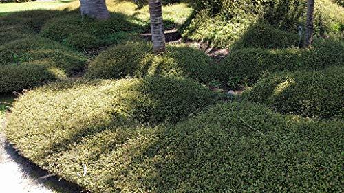 Muehlenbeckia axillaris Teppich-Scheinknöterich immergrüner Bodendecker im Topf gewachsen (25 Stück)