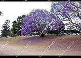 100 semillas de las PC de paulownia emperatriz Árbol romántico de la flor Gran Aroma árbol de rápido crecimiento para la decoración casera