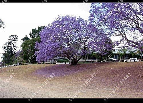 pequeño y compacto 100 piezas.  La emperatriz Paulonia siembra un romántico árbol de flores Un árbol de flores maravillosamente fragante …