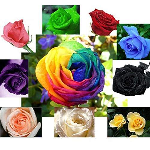 begorey Garden - Mehrfarbige Rosensamen 100 Stücke Mixed Rose Samen Blumensamen Regenbogen Rose Bunte Blumen Samen für Ihr Garten Balkon Lange Blütezeit Winterhart