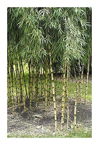 Chusquea culeou - bambou resiste au gel - 15 graines