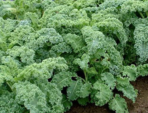 Portal Cool 1000 Unbehandelte Samen Kale Blau Variety Chou Dwarf Grünkohl Brassica O
