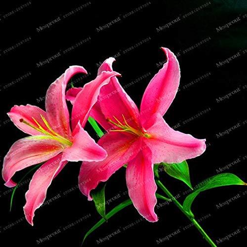 SANHOC Wahre -Lilienknollen Parfüm Lily Bonsai Blumenzwiebeln Hoch Germination Lilium Zwiebeln Bulbos De Flores Planta -2 Birnen: 3