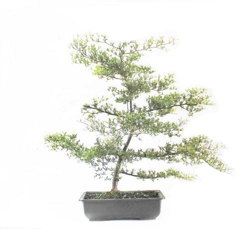 Indoorbonsaiandexotics Black Olive Bonsai Tree