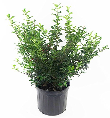 Ilex X meserveae 'Blue Princess' (Blue Holly) Evergreen, #2 - Size Container