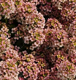 Seeds Sweet Alyssum Pastel Carpet Mix Lobularia Maritima Flower Get 500 Seeds #SFB01YN