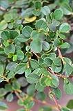 Zwergmispel Cotoneaster dammeri Streibs Findling 15-20...