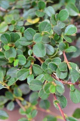 Zwergmispel Cotoneaster dammeri Streibs Findling 15-20 cm im Topfballen 1 VE = 30 Stck.