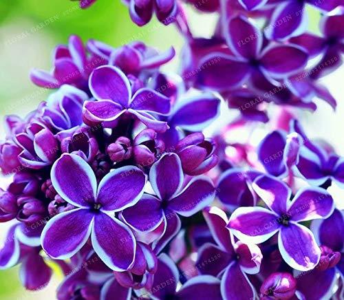 Pinkdose 50 Bonsái de colores Lila Planta Lila japonesa (Extremadamente fragante) Clavo Flor Bonsai Lila Ãrboles Planta al aire libre para el huerto familiar: 2