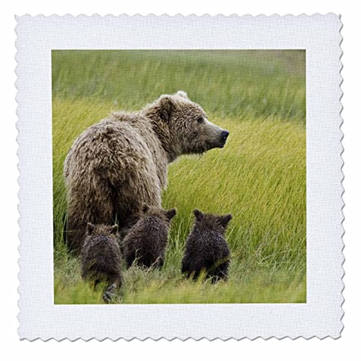 3dRose qs_87351_3 Alaska, Lake Clark NP, grizzly bear - US02 BJA0125 - Jaynes Gallery - Quilt Square, 8 by 8-Inch