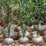 C-LARSS 50 Unids/Bolsa Bowiea Volubilis Bonsai Semillas, Llenas De Vitalidad Semillas De Plantas No OGM Resistentes A La Sequía Semillas De Exterior Para Jardín Semilla