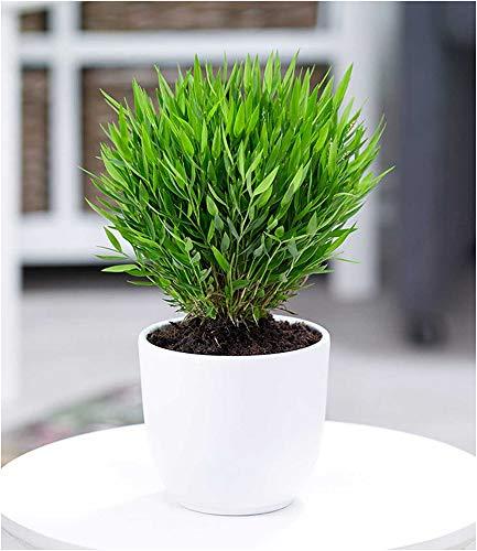 BALDUR Garten Zimmerbambus, 1 Pflanze Zimmerpflanze Pogonatherum paniceum Monica Zimmerpflanze