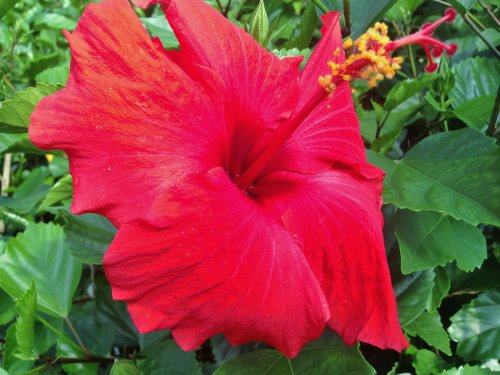 Best indoor flowering plants -Hibiscus Plant