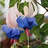 100 pc/semi bag fucsia, fiore fucsia, semi di fiori bonsai fissaggio pianta in vaso semi lanterna begonia per giardino di casa 15