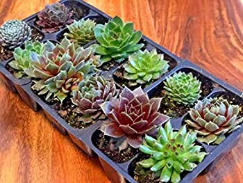 hens and chicks plants