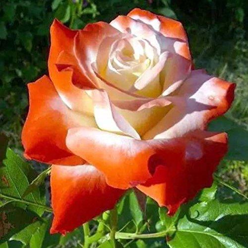 Fastdirect 100 Graines de Rosier Semences Rosiers de Poète Polyanthas Parfumé Bricolage Jardinage Bonsaï Plantes Vivaces, Multi-couleur Disponibles (Orange+blanc)