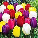 Lot de 25 Bulbes de Tulipes Mélange Tulipes à planter Fleurs de printemps Tulipe en bulbe