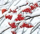 Wdsjxd Pintura por números Home Painting Set Salvaje Invierno Frutas Lienzo Pintura al óleo Set Principiante con Pincel Hogar Dector Regalo Sin Marco 40X50cm