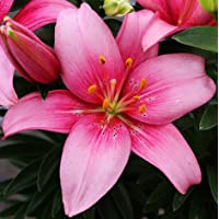 (2) Gorgeous Pink Asiatic Lily Bulbs Flowering Perennial Year After Year