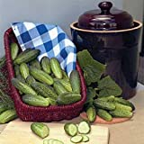 Alibi F1 Cucumber Seeds - Great for making gherkin pickles! Produces all season(10 - Seeds)