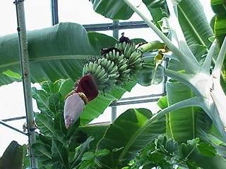 Musa - 'Grand Nain' - Banana Fruit Tree -