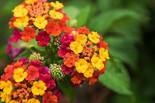 Wandelrose 10 Samen (Lantana camara) Blüten für 7 Monate!