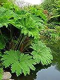 GEOPONICS Couleur 12: Belle hémérocalles Seeds 50pcs jardin Bonsai graines de bricolage Facile Grln