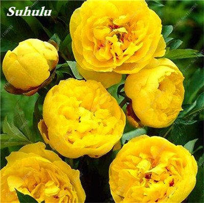 Chinese National Flower 5 graines Pcs Pivoine Plante en pot Paeonia suffruticosa Arbre Terrasse Cour Illuminez votre jardin personnel 5