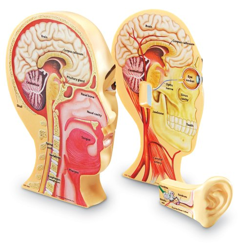 Learning Resources Cross-Section Human Head Model