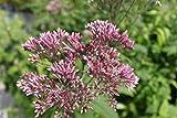2er-Set - Eupatorium purpureum - purpurroter Wasserdost...