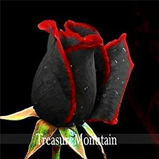 Black Baccara Hybrid Rose Shrub Flower Seeds, 100 Seed a Pack, Fresh Exotic True Blood Rose Flower,WII5JX