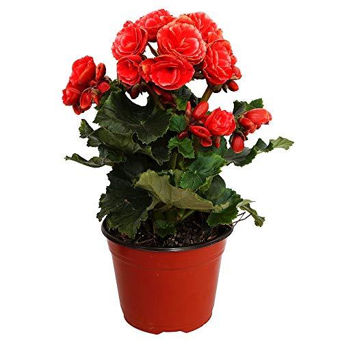 Begonia Elatior Planta con Flor 30cm Altura Maceta 12cm Planta Natural