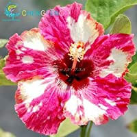 ダークグレー:約100個/ロット巨大ハイビスカスの花の種ガーデン&ホーム多年生の鉢植えの植物の花オクラハイビスカス盆栽草の種