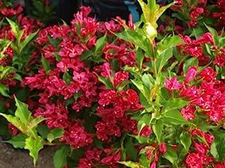 AchmadAnam - Ruby Red Weigela (Weigela rubrun)