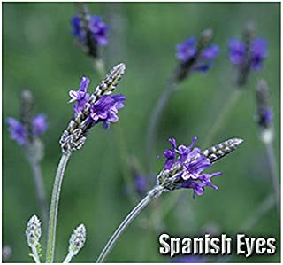 20 x Spanish Eyes Lavender Flower/Herb Seeds - Commonly Called Fern Leaf Lavender or Egyptian Lavender - Lavandula multifida Seeds - by MySeeds.Co