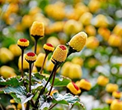 Spilanthes Seeds - Buzz Buttons Edible Flowers Seeds - 1000+ Acmella Oleracea Seeds (Toothache Plant Seeds)