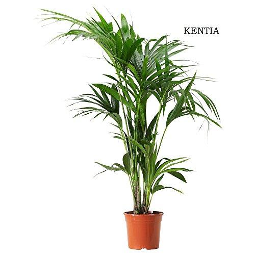Howea forsteriana - Kentia - Maceta de 21cm - 100/125cm de